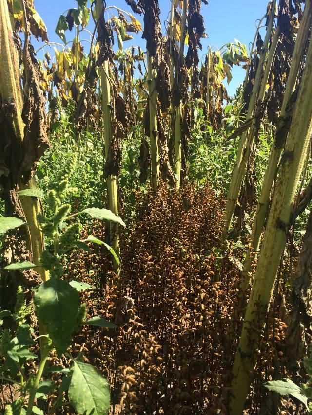 内蒙古五原县食葵列当危害使食葵颗粒无收